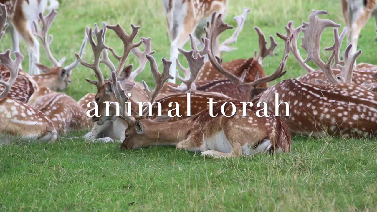 Animal Torah: Deer Edition