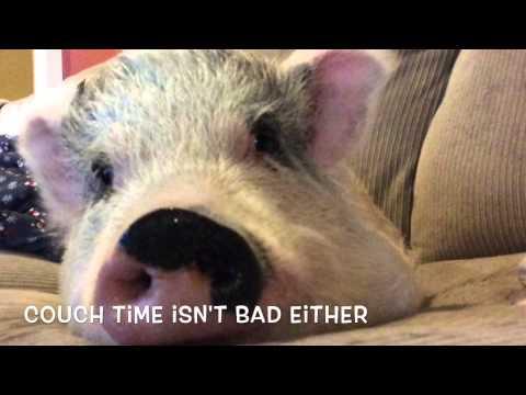 Hamilton the Pig Arrives at Harmony Farm Sanctuary