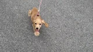 American Mix English Cocker Spaniel Puppy Evening Walk
