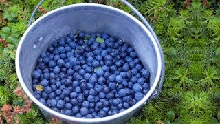 How To Grow Bucket Full Of Blueberries No Matter Where You Live