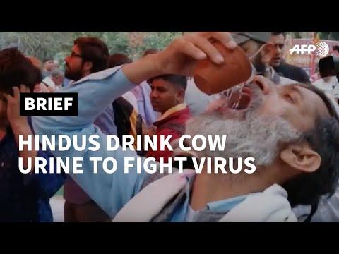 Hindu activists drink cow urine against the coronavirus   AFP