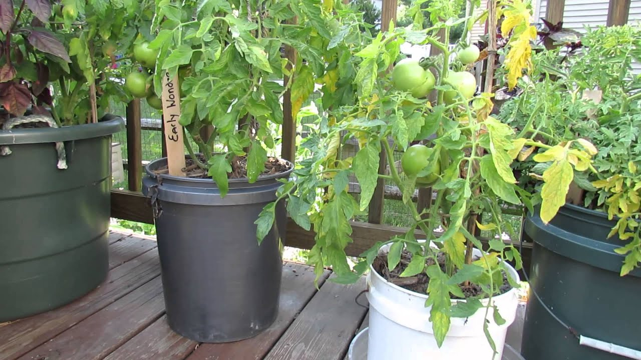 Garden Questions Does Tomato Container Size Matter & Do