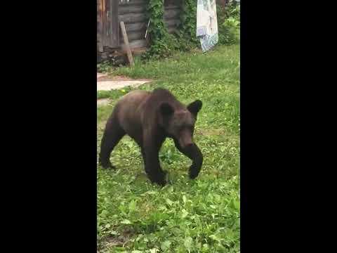 Медведи пообедали кимчи на даче в Нечаевке