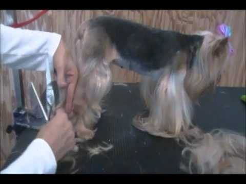 Yorkie Pet Grooming How To Give A Yorkie A Summer Cut Youtube