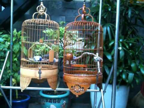 Chim sau dau dau do hot dau 2 - Tuan Phong