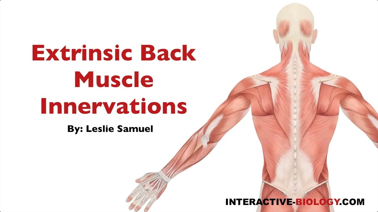 094 Innervations Of The Extrinsic Backshoulder Muscles Youtube
