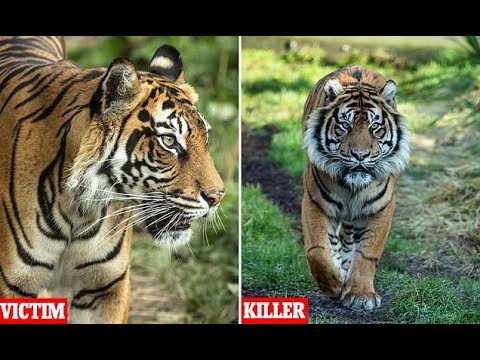 Horror as London Zoo tiger Melati brutally killed by a potential mate as they were being introduced Mp3