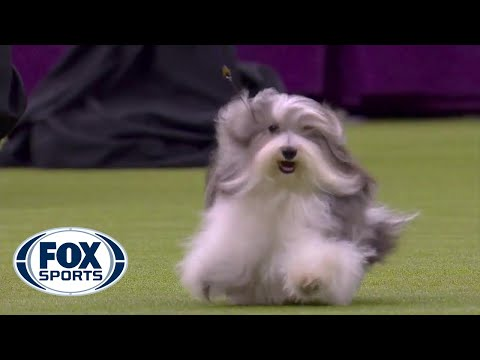 'Bono' the Havanese dog wins Toy Group at 2020 Westminster Dog Show | FOX SPORTS