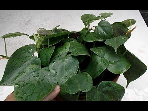 Philodendron Leaf & Stem Cuttings in Water & Soil