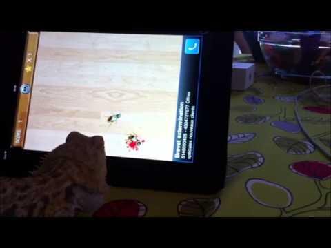 Lizard Eating iPads  Bugs