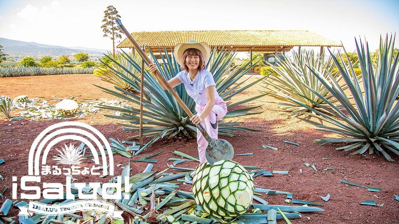 テキーラの原料「アガベ」収穫体験&蒸留所へ【メキシコ】
