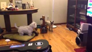 Westie Vs Siamese Cat