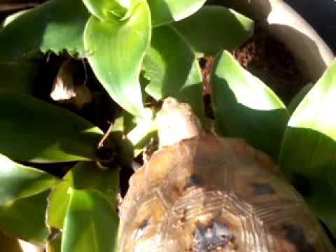 Rùa núi vàng ăn lá lược vàng