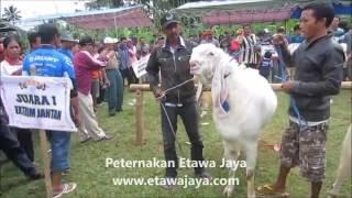 Video Kambing Etawa Super Terbesar 121 kg download MP3, 3GP, MP4, WEBM, AVI, FLV April 2017