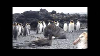 Focas estão estuprando pinguins thumbnail