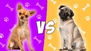 Chihuahua vs Pug  Chihuahua vs Carlino en ESPAÑOL