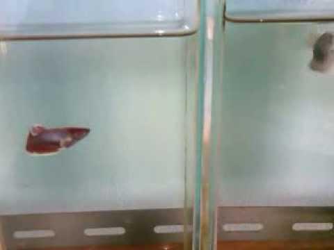 ปลากัดตัวเมียหูช้าง