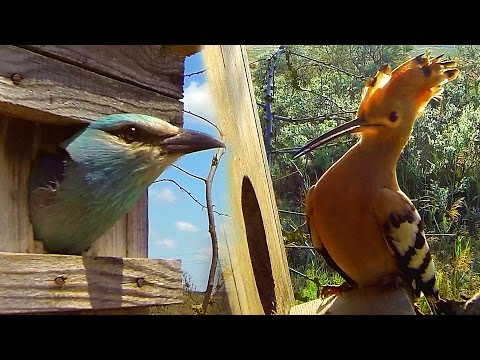 Nest box for birds: hoopoe and european roller.