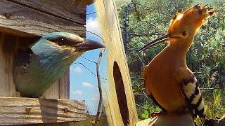 Nest box for birds: hoopoe and european roller.