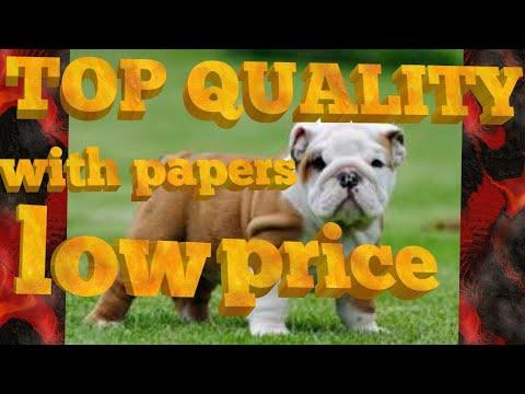 English /british Bulldog Puppy Sale