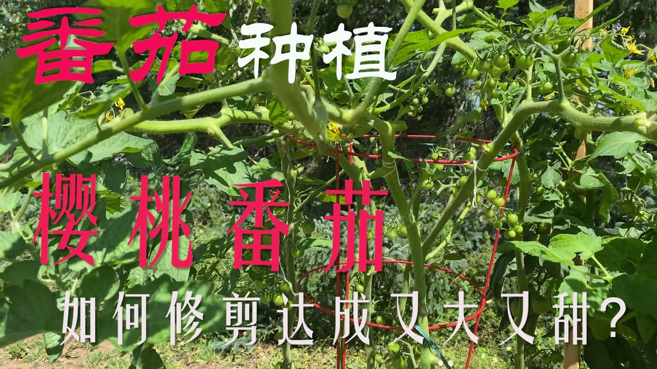 【渔耕笔记】番茄种植 |  樱桃番茄/圣女果如何通过二次或多次修剪实现高质高产