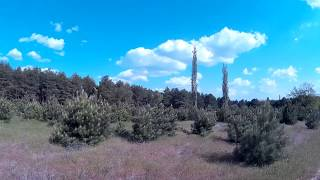Молодые маленькие сосенки возле старого леса на фоне красивого голубого неба с шикарными облаками