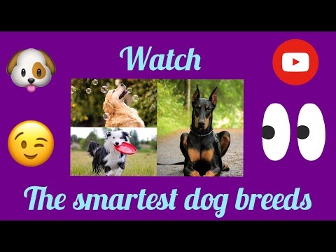 Top 10 smartest Dog Breeds in the world ! (2017)