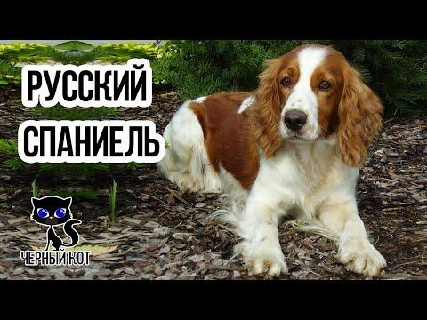 ✔ Русский спаниель - отличная охотничья собака. Плюсы и минусы породы русский спаниель