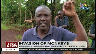 Monkeys invade Njukini village living residents in fear
