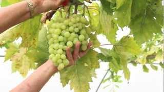 Planter un pied de raisin de table en treille free video and related media mashpedia player - Planter vigne raisin de table ...