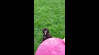 A poodle plays with the owner of a pink disc by the lake