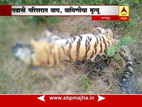नागपूर : पवानी परिसरात वाघ-वाघिणीचा मृत्यू, मृत्यूचं कारण अस्पष्ट