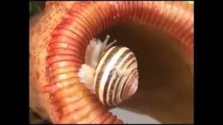 食虫植物 カタツムリを喰らう 瞬間     ウツボカズラ   ウツボット?