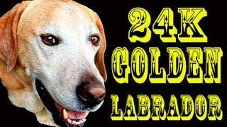 24k Golden Labrador