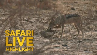 Hungry Hunter: Jackal tries to eat tortoise - unexpected ending