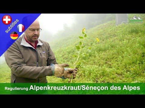Regulierung des Alpenkreuzkrauts (Senecio alpinus) - Digiplanalp