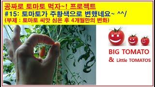 토마토 키우기, 공짜로 토마토 먹자~! 프로젝트#15:…