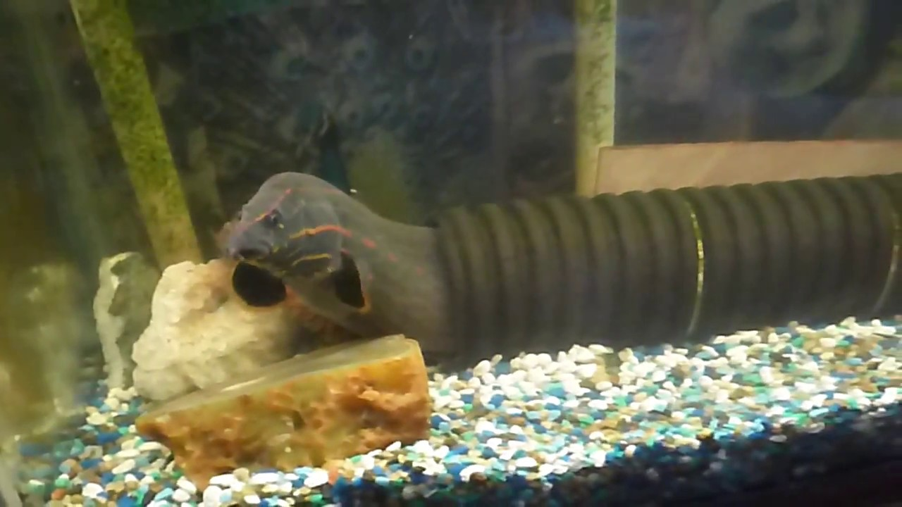 Keeping A Large Fire Eel As A Very Interesting Pet Youtube
