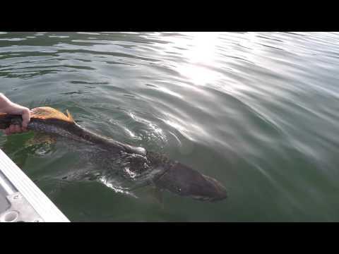 Rilascio di un grosso luccio nel lago di scanno youtube for Grosso pesce di lago