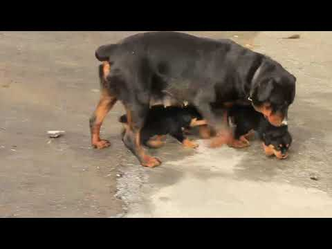 Rottweiler puppies for sale Elam King