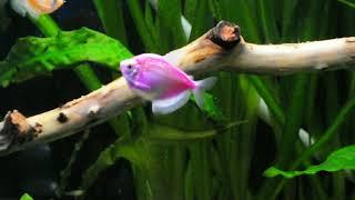 Лечение рыб от кишечных паразитов. Не повторяйте моих ошибок. Аквариум 168 л.