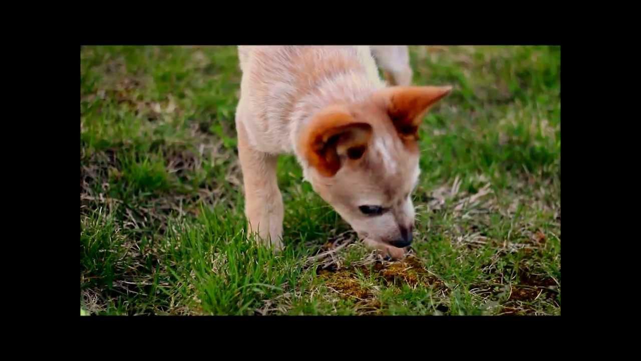 Bailey Australian Cattle Dog Red Heeler Puppy 2014 Youtube