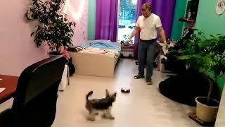 Любимые смешные животные. Щенок йорик играет в футбол.Funny dog Lapus