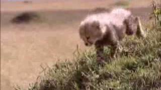 Cheetah separated from mother - BBC wildlife