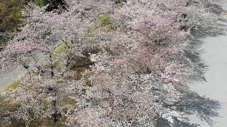反町薬師桜