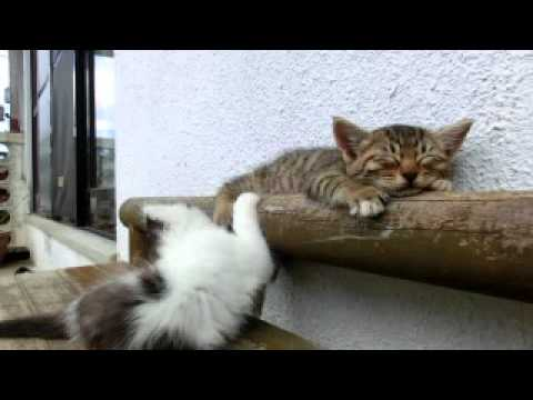 Thumbnail for Cat Video Sleeping Cat Annoyed By Hyper Cat