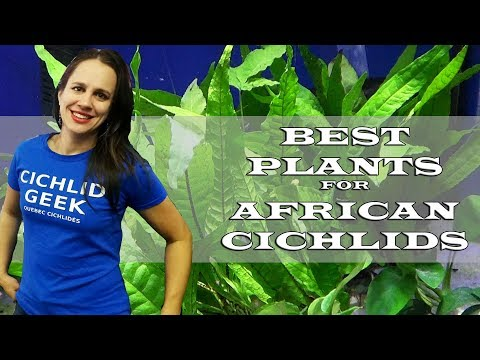Top 3 Plants For The African Cichlid Tank