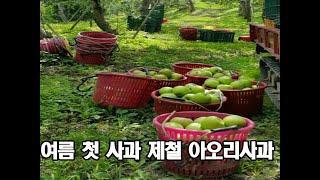 여름사과 소백산 영주 아오리사과 새콤달콤~ 아삭아삭~ …
