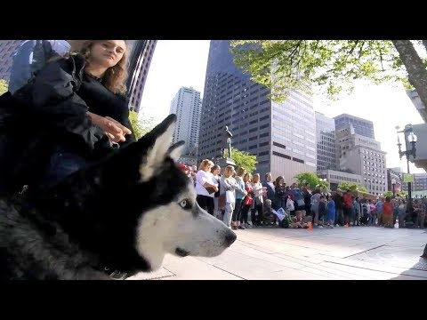 Cute Siberian Husky Enjoys Crazy Street Performance Just Like Human