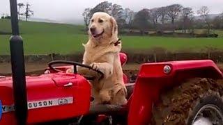ये डॉग चलाता है ट्रैक्टर, खेत में ऐसे करता है मालिक की मदद